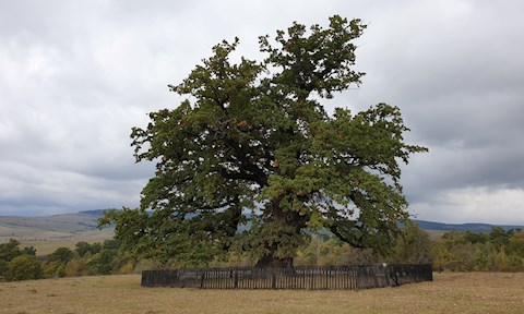 cati-ani-are-cel-mai-batran-stejar-din-romania