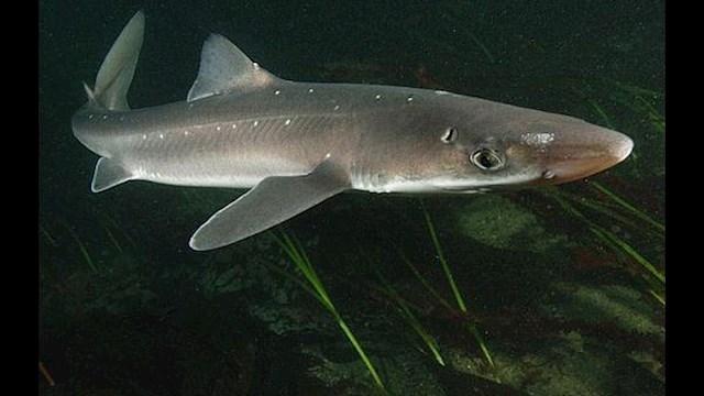 În Marea Neagră există o singură specie de rechin, numit Câine de Mare (Squalus Acanthias). Acesta se găsește in largul Mării Negre, mai frecvent până la adâncimi de până la 100 m, foarte rar apropiindu-se de litoral la adâncimi mai mici de 10 m. Deși este unul dintre cei mai feroce răpitori din Marea Neagra, fiind un înotător extraordinar datorită formei hidrodinamice a corpului, este cel mai blând și fricos dintre toate speciile de rechini cunoscute până în prezent.
