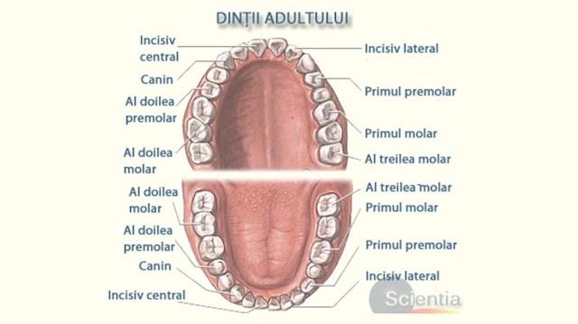 După cum se poate vedea și în schema dentară de mai sus, un om adult cu dantura completă are 32 dinți. Aceștia sunt dispuși în mod simetric, 16 pe partea superioară (maxilar) și 16 pe partea inferioară (mandibulă).  Copii au 20 de dinți de lapte, dantura de lapte fiind completă la vârsta de 3 ani la majoritatea copiilor. Începând cu vârsta de 5-6 ani, dinții de lapte încep să cadă, făcând loc dinților permanenți. Până la vârsta de 12-14 ani, toți dinții de lapte sunt înlocuiți cu dinți permanenți, majoritatea persoanelor având 28 de dinți la această vârstă, cu 8 mai mult decât dinții de lapte. Ultimii 4 dinți care apar sunt măselele de minte care erup în majoritatea cazurilor la vârsta de 17-21 ani.